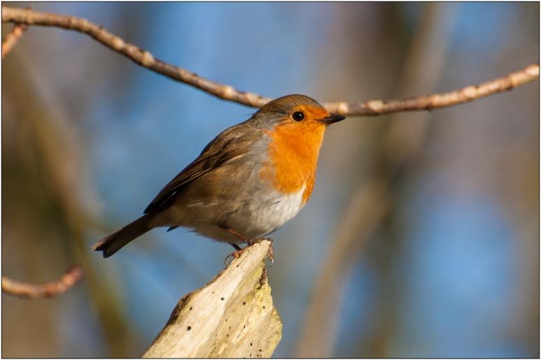 Robin0