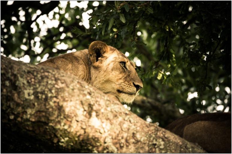 Lion Ndutu